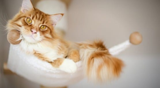charakter-maine-coon