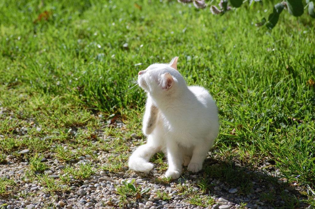 Sprawdzone Sposoby Na Pchły Koty Maine Coon