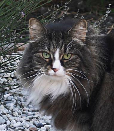 kot-rasy-norweskiej